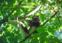 Endangered Verreaux Sifaka Lemur Male in Tree