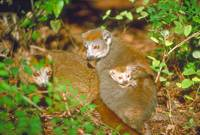 Endangered Crown Lemur Pair with Infant