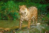 Endangered Jaguar in Rain Forest