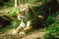 Endangered Bengal Tiger Lying Beside Small Stream