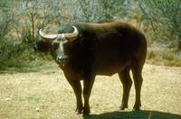Endangered Dwarf Forest Buffalo