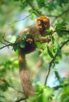 Endangered Red Fronted Lemur in Tree