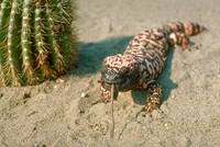 Endangered Gila Monster Lizard Eating a Mouse