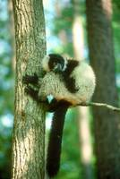 Endangered Ruffed Lemur in Tree.