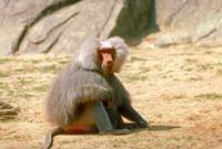 Adult Male Endangered Hamadryas Baboon