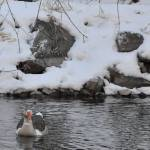 """Goose in Snow"" by Peay4Pics"