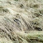 """Grass 1"" by billburk"