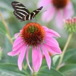 """Zebra Butterfly"" by janetsart"