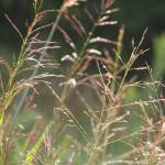 """Prairie Grasses"" by janetsart"