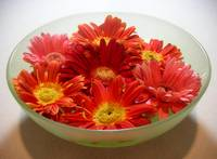 Daisies - A Bowl Full