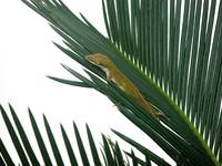 Anole With Palm - Coy