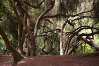 Trees dancing, Golden Gate Park, San Francisco