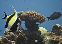 SHORT FIN MOORISH IDOL