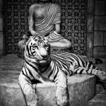 """White Tiger"" by MariPhotography"