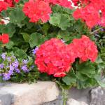 """""""Geraniums"""" by SweetRascal"""