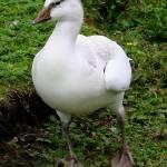 """Snow goose"" by kenart"