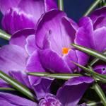 """Purple crocus"" by sheiro"