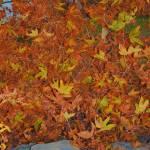 """autumn leaves"" by lwoodburn"