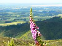 foxglove with a view