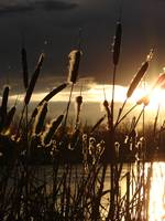 Cat Tails At Sunset