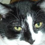 """""""Tuxedo Cat"""" by crazyabouthercats"""