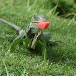 """Iguanas Like Watermelon!"" by michellekelley"