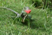 Iguanas Like Watermelon!