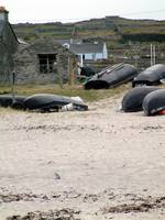 Beached Whales of Aran Island 238