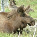 """""""Moose"""" by Mick553"""