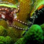 """A Brittlestar on Coral"" by Mac"