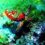 """Honu the red by Donovan"" by Donovan2012"