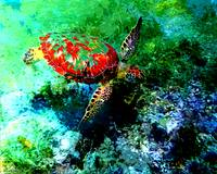 Honu the red by Donovan