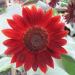 """Red Sunflower"" by myphotobox"