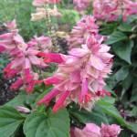 """Pink Salvia Flowers"" by myphotobox"