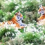 """Tigers Resting In Long Grass Oil"" by biglnet"