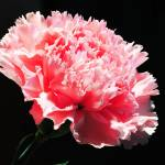 """Pink Carnation"" by SteveWalton"