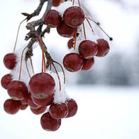 Winter Crab Apples