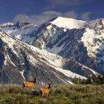 """Elk in the Tetons"" by pbk"