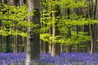 Beech and Bluebell Woods, Wiltshire (IMG_2802)