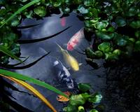 Koi in Pond 2