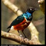 """South African Starling (a.k.a. Superb Starling)"" by uglybugga"
