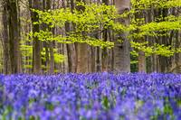 Bluebell and Beech Woods, Wiltshire (IMG_2807)