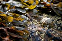 Limpet and Seaweed, Dornoch (1D3_0805)