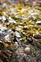 Limpet and Seaweed, Dornoch (1D3_0817