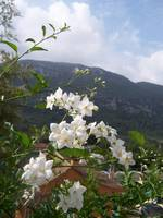 Wild Jasmine In The Mountains