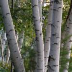 """White Birches"" by staplesphoto"