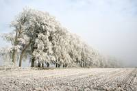 Frost on Beech Trees, Somerset (1D3_1909)