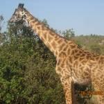 """""""Masaai Mara Giraffe"""" by gitongawaigwa"""