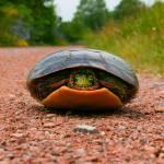 """turtle on gravel"" by adamspix"
