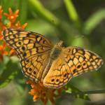 """Variegated Fritillary Butterfly--Zinfandel"" by tricia"